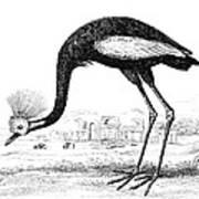 Balearic Crane Art Print