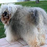 ball of fur Havanese dog Art Print