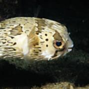 Balloonfish Profile Puffer Fish, Diodon Art Print