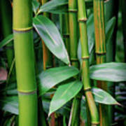 Bamboo Green Art Print