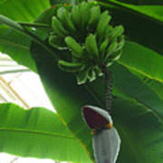 Banana Plant Kew London England Art Print