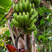 Bananas In Africa Art Print