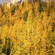 Banff Golden Larch Dream World Art Print
