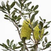 Banksia Syd02 Art Print