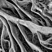 Banyan Roots Art Print