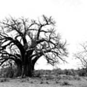 Baobab Landscape Art Print