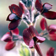 Barbed Thermopsis Or Black Pea Art Print