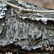 Bark - Lichen - Cat Brier Tendrils Art Print