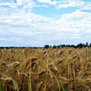 Barley And Sky In Oulu, Finland. Art Print