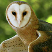 Barn Owl-6553 Art Print