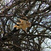 Barn Owl In A Tree Art Print