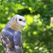 Barn Owl Looking Skyward Art Print