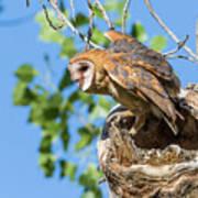 Barn Owl Owlet Climbs Out Of Nest Art Print