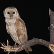 Barn Owl Tyto Alba Art Print