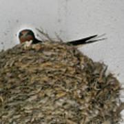 Barn Swallow Hirundo Rustica Print by Douglas Barnett