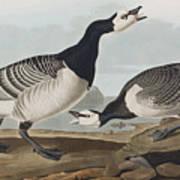 Barnacle Goose Art Print
