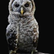 Barred Owl Baby -4 Art Print