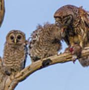 Barred Owl Family Art Print