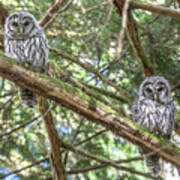 Barred Owl Fledglings Art Print