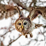 Barred Owl In Flight 4830 Art Print