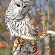 Barred Owl Portrait Art Print by Cindy Lindow