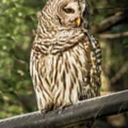 Barred Owl Art Print
