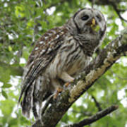 Barred Owl With A Snack Art Print