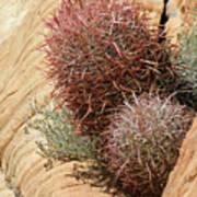 Barrel Cactus Art Print