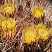 Barrel Cactus Flowers 2 Art Print