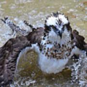 Bathing Osprey Bird Splashing About Art Print