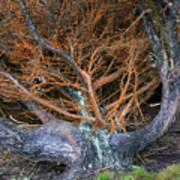 Battered Cypress With Orange Alga Art Print