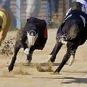 Battle Of The Racing Greyhounds At The Track Art Print