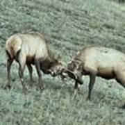 Battling Elk Art Print