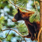 Bear Cub In A Tree 3 Art Print