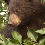 Bear Cub In Apple Tree1 Art Print