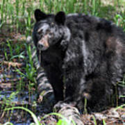 Bear Cub In Whistler Art Print