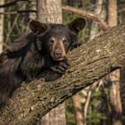 Bear In Tree Art Print