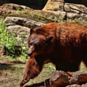 Bear Pacing Art Print