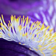 Bearded Iris Macro Art Print