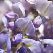 Beautiful And Magical Wisteria  Art Print