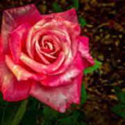 Beautiful Bicolor Rose Art Print