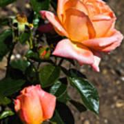 Beautiful Bloom Of The Rose Atlantic Star Art Print