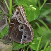 Beautiful Blue Morpho Butterfly Resting In A Garden  Art Print