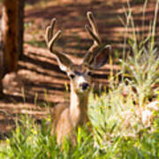 Beautiful Buck Deer In The Pike National Forest Art Print
