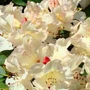 Beautiful Creamy White Pink Rhodies Floral Garden Baslee Troutman Art Print