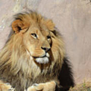 Beautiful Face Of A Lion In The Warm Sunshine Art Print