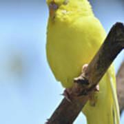 Beautiful Face Of A Yellow Budgie Bird Art Print
