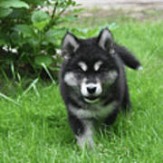 Beautiful Face Of An Alusky Puppy Dog In Thick Green Grass Art Print