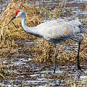 Beautiful Day For A Walk -sandhill Crane   Art Print