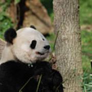 Beautiful Giant Panda Bear In The Wild Art Print